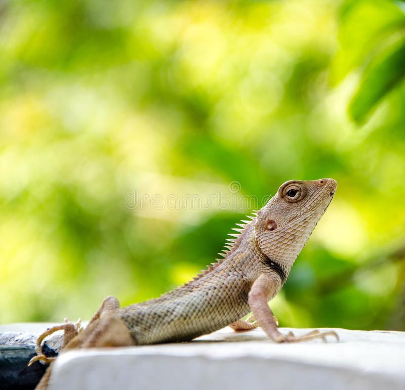 Indian Chameleon royalty free stock photo