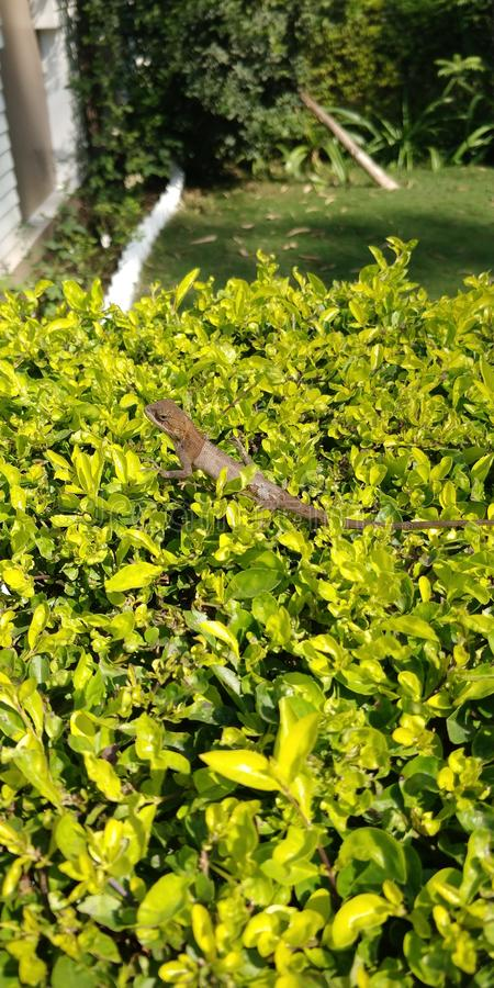 Indian chameleon sitting on the hedge in the garden royalty free stock photos