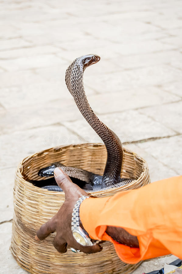 Indian Cobra and charmer hand. Detail of an Indian Cobra and snake charmer hand stock images