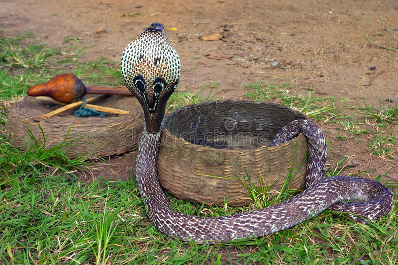 Indian Cobra. Indian spectacled cobra with basket and pipe of snake charmer (fakir royalty free stock images