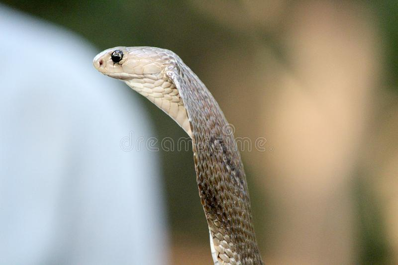 Indian cobra venom snake wallpaper. Spectacled cobra with hood lowered in a bamboo shrub. The Indian cobra is one of the Big four snakes of South Asia mostly stock image