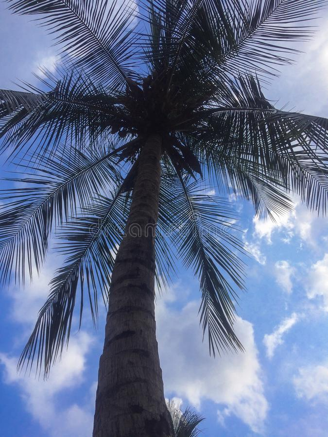 Indian coconut tree. With beautiful blue shaded sky and shaped royalty free stock photo