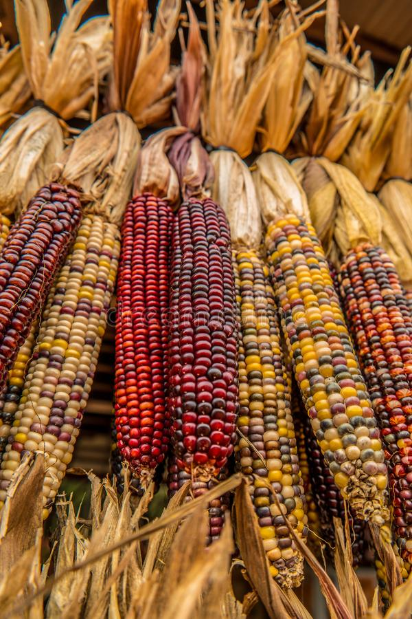 Indian colored corn hanging stock image