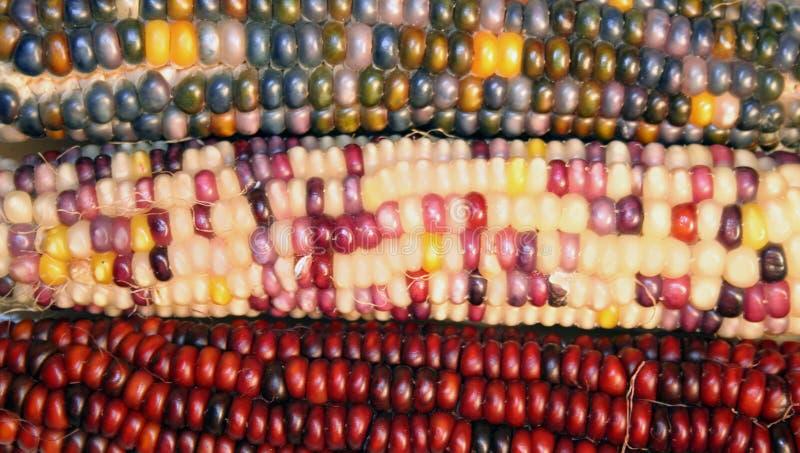 Download Indian Corn stock image. Image of corn, thanksgiving, autumn - 1333873