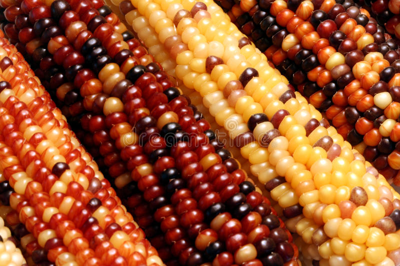 Indian Corn. Multi-Colored Dried Indian Corn royalty free stock photography