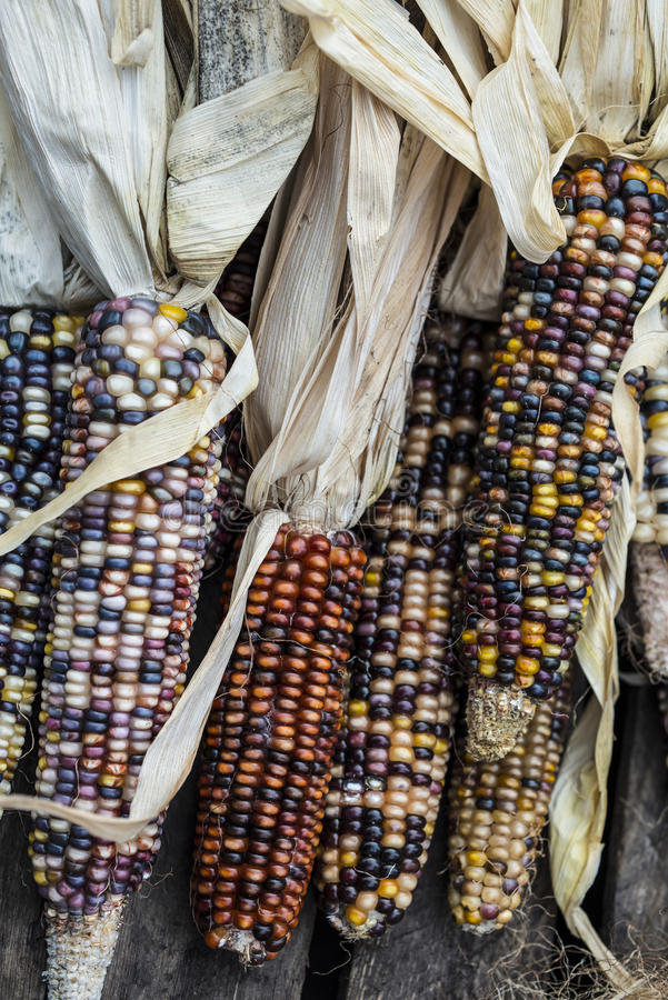 Download Indian Corn stock photo. Image of plant, corn, indurata - 28311994