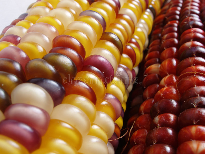 Indian Corn. Colorful indian corn royalty free stock image