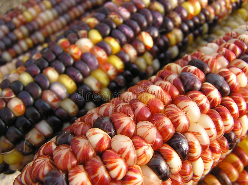 Indian Corn. Ears of Indian Corn Shot with Early Morning Sunlight stock image