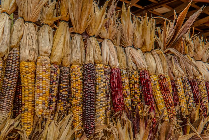 Indian corn in autumn stock photo