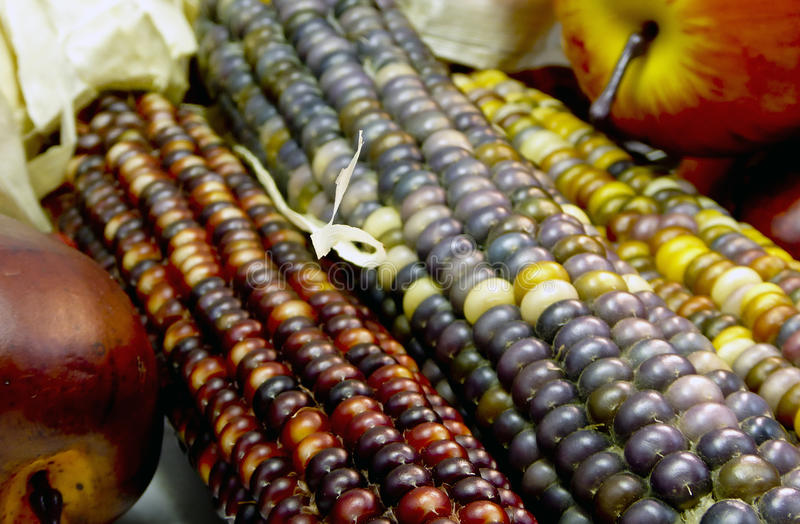Indian corn cin burgundy, yellow, brown and grey,. Close up of three ears of Indian corn with apples in the background stock image