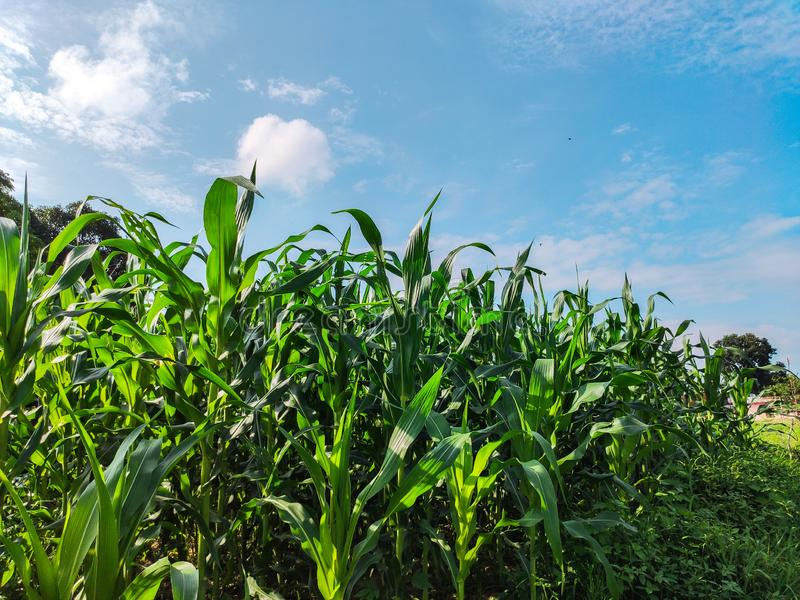 Corn field Indian farm agriculture. Unripe green corns plants royalty free stock image