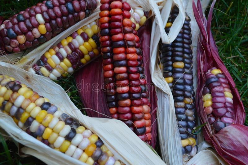 Download Indian corn on grass stock photo. Image of bright, decorative - 100870804