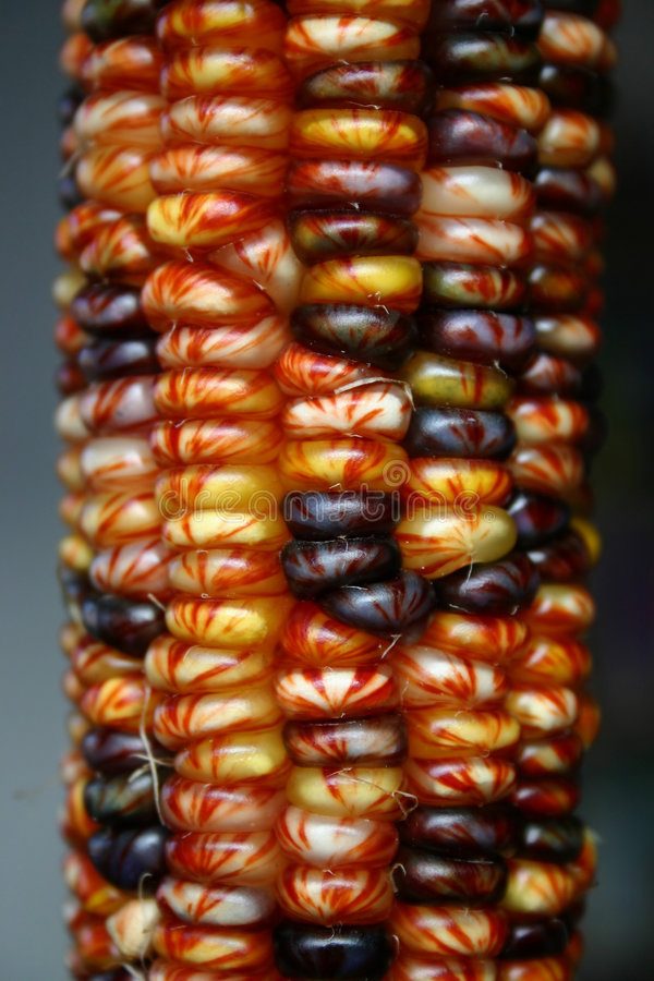 Indian Corn IV. Indian Corn, one of the most popular fall decorations in the USA stock images