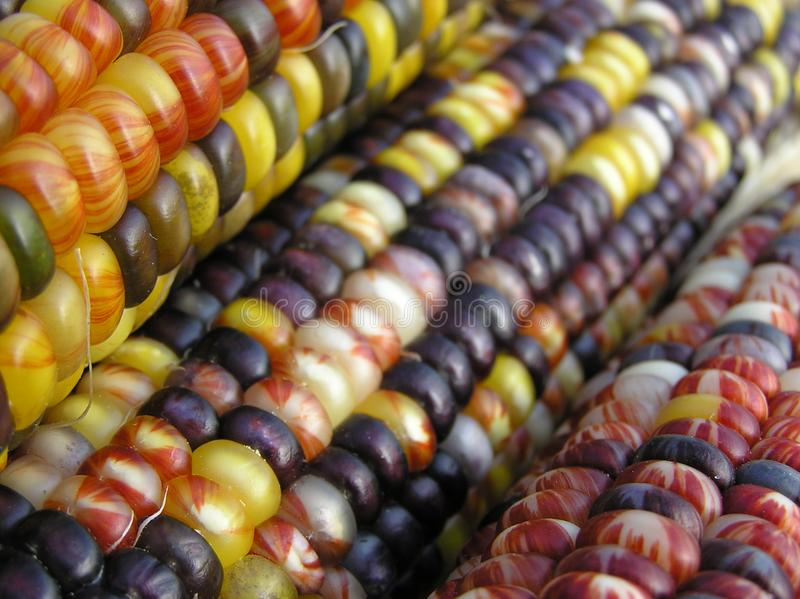Indian Corn Row royalty free stock images