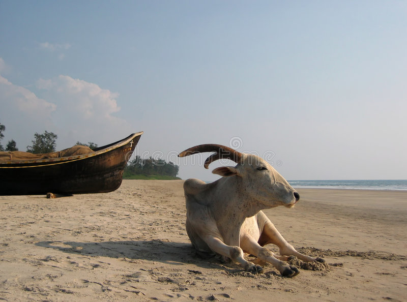 Indian Cow. Stock Image
