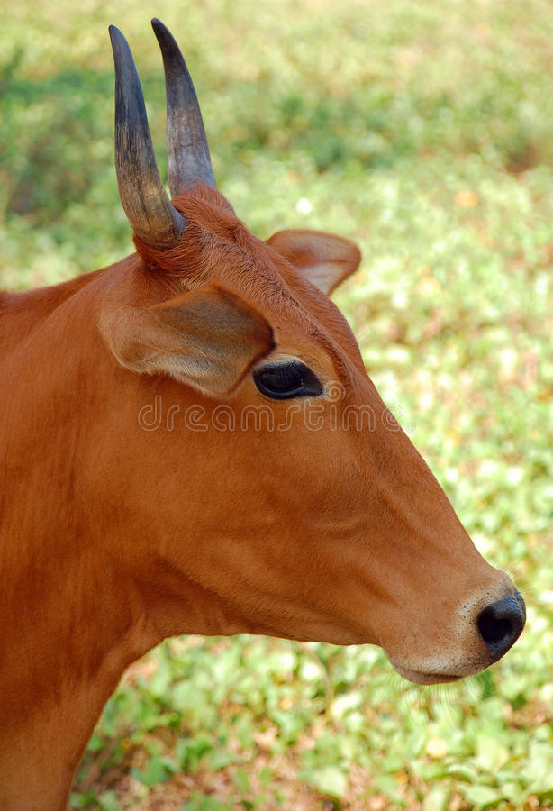 Indian Cow's Head royalty free stock images