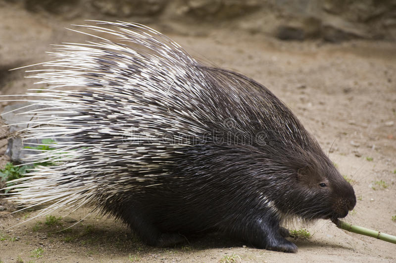Indian Crested Porcupine. Pulls bamboo royalty free stock photo