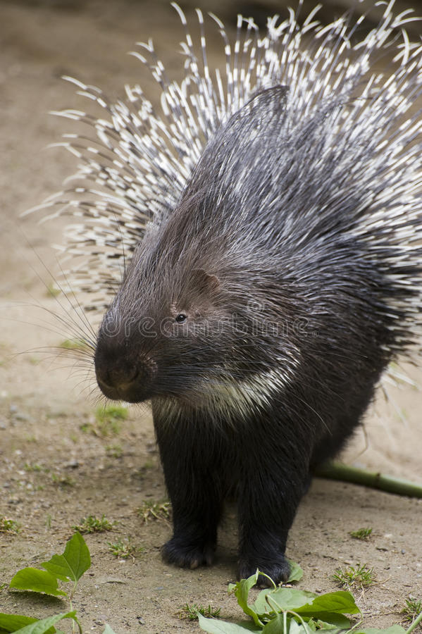Indian Crested Porcupine stock image
