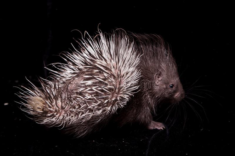 Indian crested Porcupine baby on black backgrond royalty free stock photos