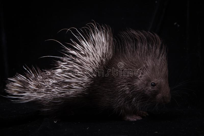 Indian crested Porcupine baby on black backgrond. Indian crested Porcupine baby, Hystrix indica, isolated on black background stock photos
