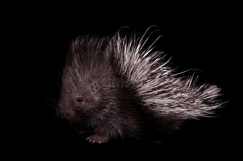 Indian crested Porcupine baby on black backgrond. Indian crested Porcupine baby, Hystrix indica, isolated on black background stock image