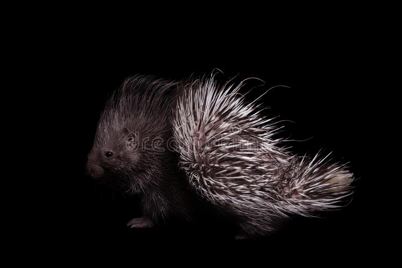 Indian crested Porcupine baby on black backgrond. Indian crested Porcupine baby, Hystrix indica, isolated on black background royalty free stock photography