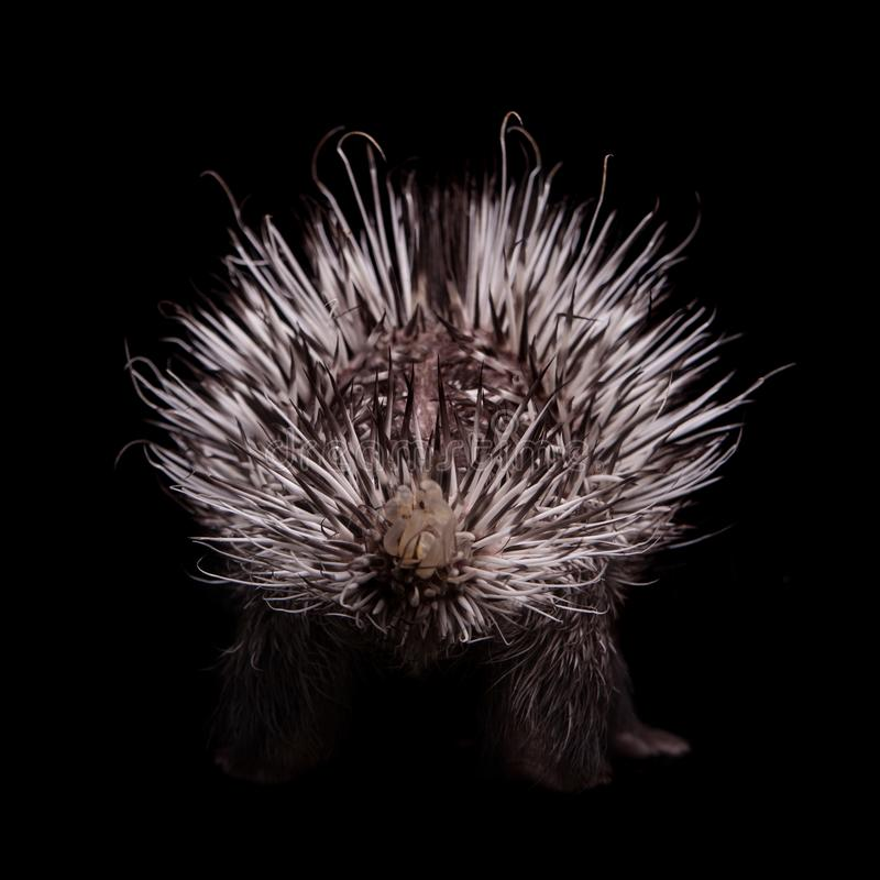 Indian crested Porcupine baby on black backgrond. Indian crested Porcupine baby, Hystrix indica, isolated on black background stock photo