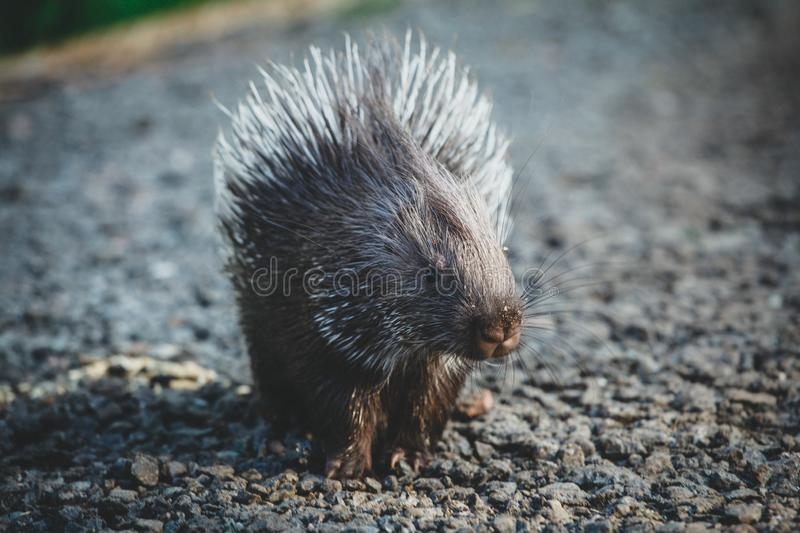 Indian crested Porcupine baby on black backgrond. Indian crested Porcupine baby, Hystrix indica, isolated on black background royalty free stock photos