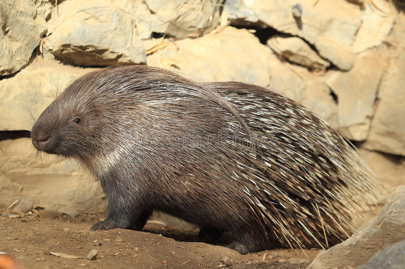 Indian crested porcupine. On the ground royalty free stock images
