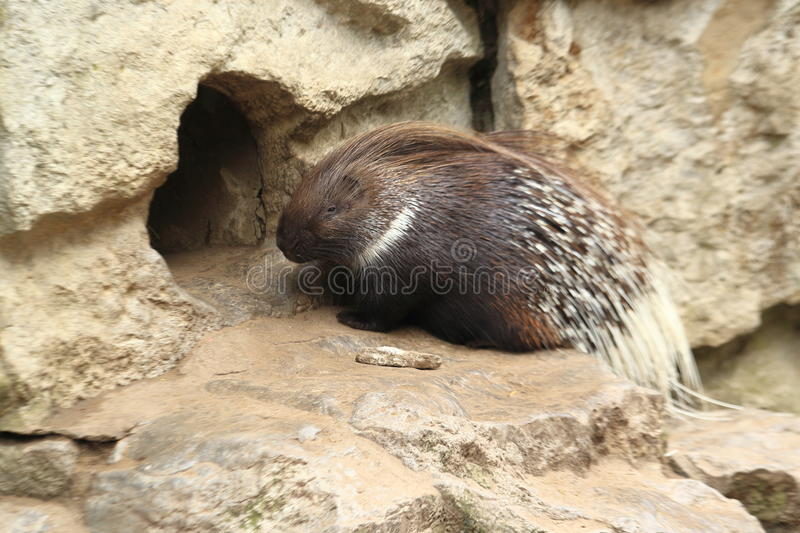 Indian crested porcupine. On the rock stock photo