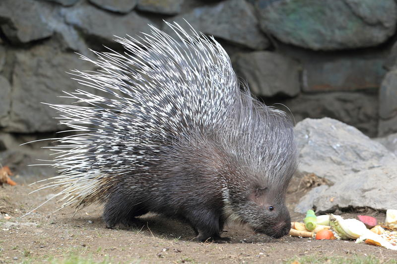 Indian crested porcupine. The indian crested porcupine strolling on the soil stock images