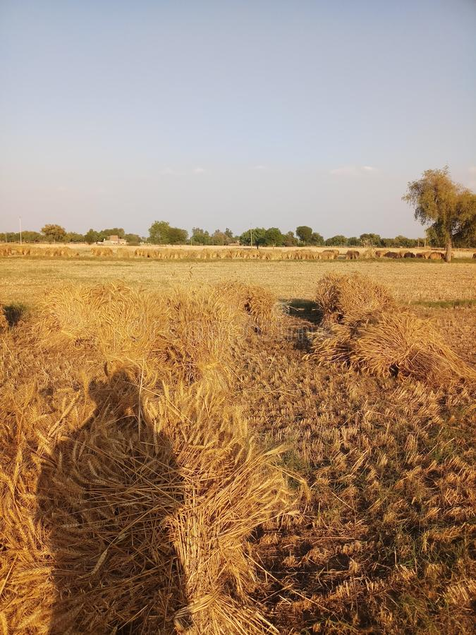Indian crop harvesting during march april month royalty free stock photo