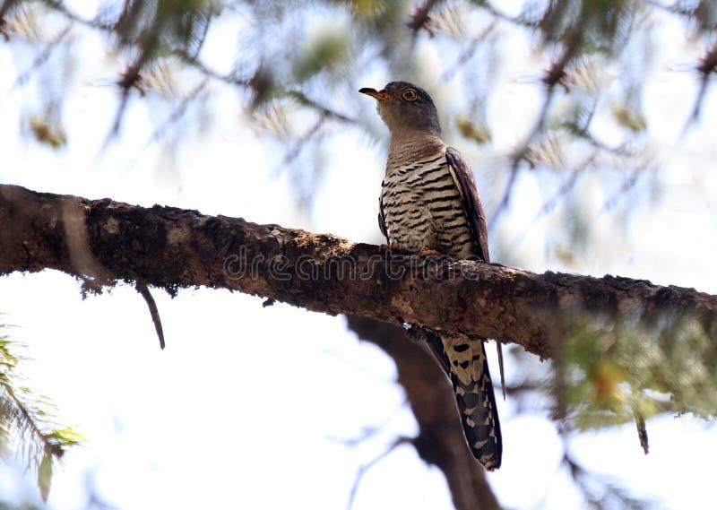 Indian cuckoo stock photos