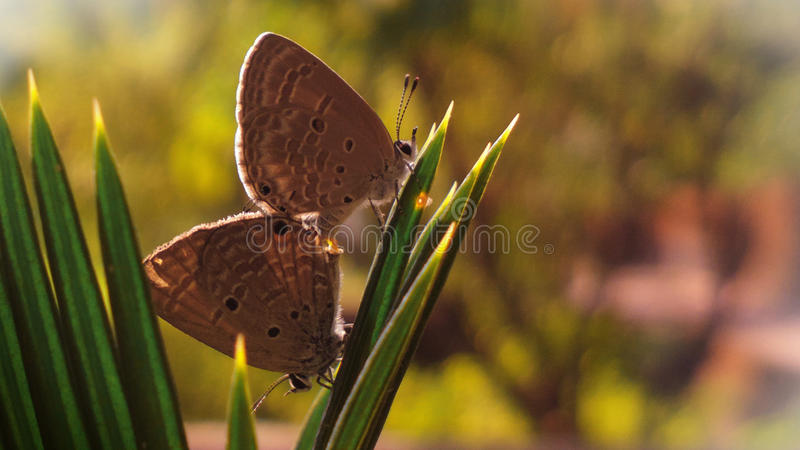 Indian Cupid butterflies in love stock images