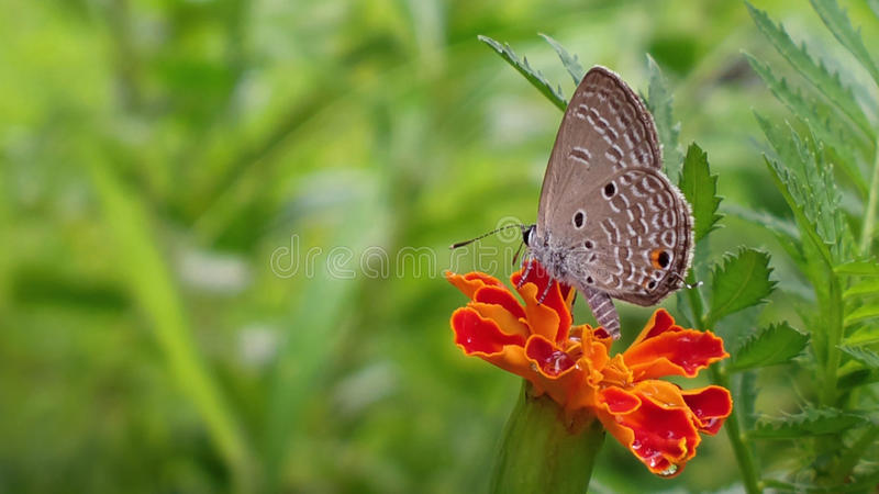 Indian Cupid butterfly amidst nature royalty free stock image