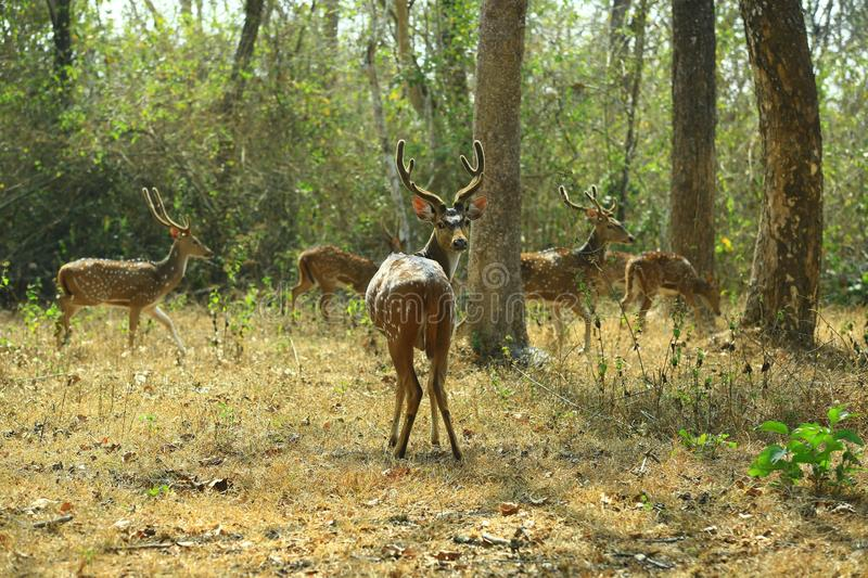 Indian Deer with texas. Photo of the indian deer caught in nagarhole national park karnataka royalty free stock images