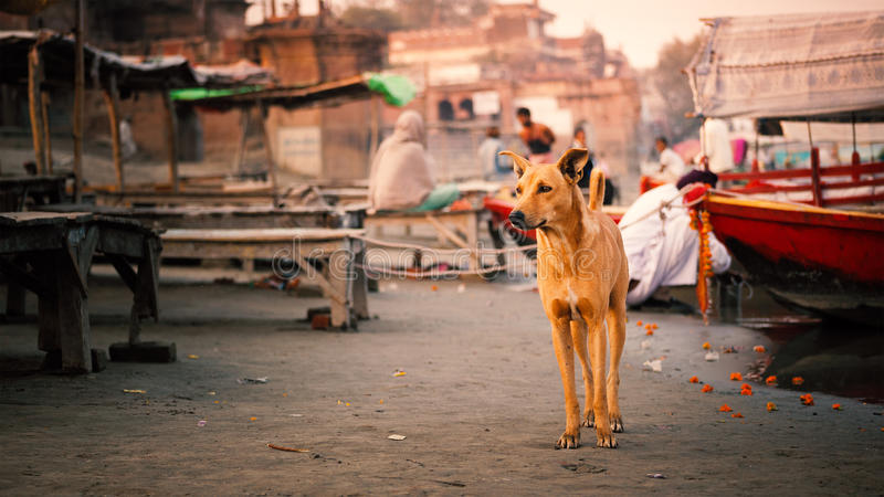 An Indian Dog. At Bithoor Temple, near The Bank of Ganga River, Kanpur, India, 23 November 2014 royalty free stock image