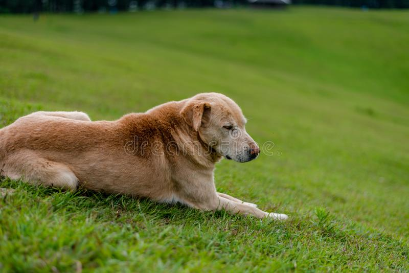 Indian Dog in Green Meadow in Himalayas, Great Himalayan National Park, Sainj Valley, Shahgarh, Himachal Pradesh, India. Photo of Indian Dog in Green Meadow in royalty free stock images