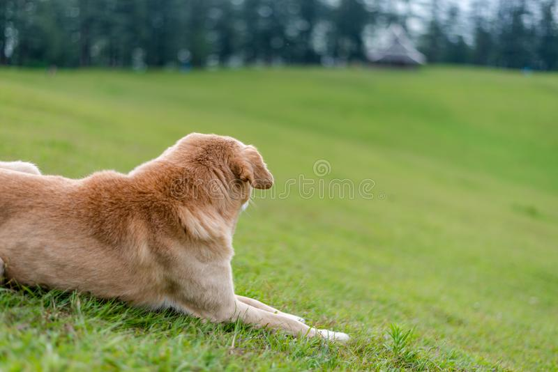 Indian Dog in Green Meadow in Himalayas, Great Himalayan National Park, Sainj Valley, Shahgarh, Himachal Pradesh, India. Photo of Indian Dog in Green Meadow in stock photo