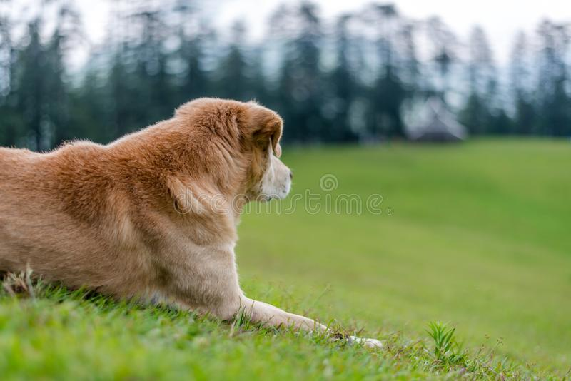 Indian Dog in Green Meadow in Himalayas, Great Himalayan National Park, Sainj Valley, Shahgarh, Himachal Pradesh, India. Photo of Indian Dog in Green Meadow in stock image