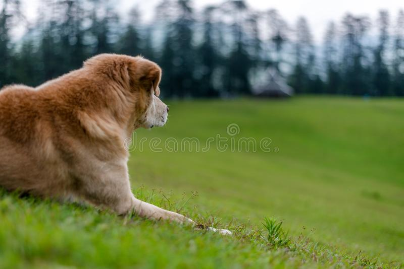 Indian Dog in Green Meadow in Himalayas, Great Himalayan National Park, Sainj Valley, Shahgarh, Himachal Pradesh, India. Photo of Indian Dog in Green Meadow in royalty free stock photography