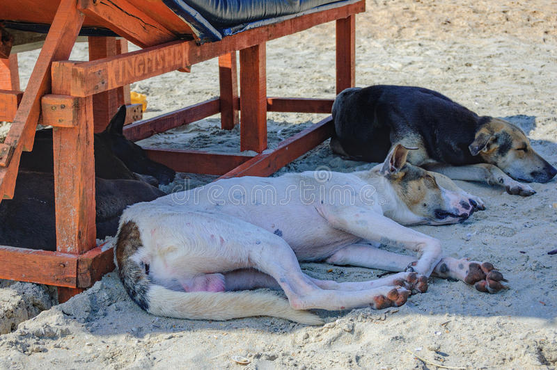 Indian dogs sleeping in the shadow of sun lounger. Homeless dog lying and sleeping in the shadow of the sun lounger on Cavelossim Beach in South Goa, India royalty free stock photography