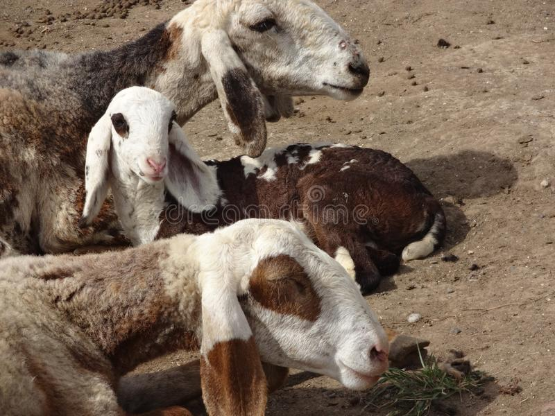Indian domestic animals goats in the farm stock image