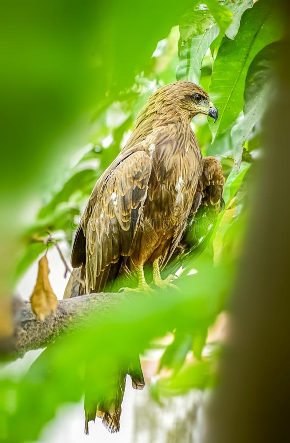 Indian Eagle,the Kite sitting on the tree branch in the defth of field picture. India stock photo
