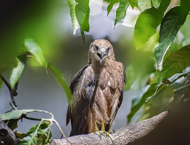 Indian Eagle,the Kite sitting on the tree branch in the defth of field picture. India royalty free stock photography