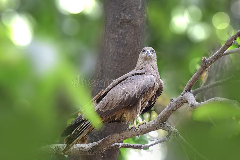 Indian Eagle,the Kite sitting on the tree branch in the defth of field picture. India stock photos