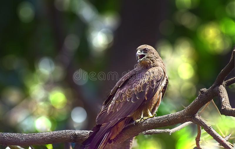Indian Eagle,the Kite sitting on the tree branch in the defth of field picture. India stock images