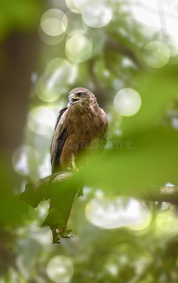 Indian Eagle,the Kite sitting on the tree branch in the defth of field picture. India royalty free stock photo