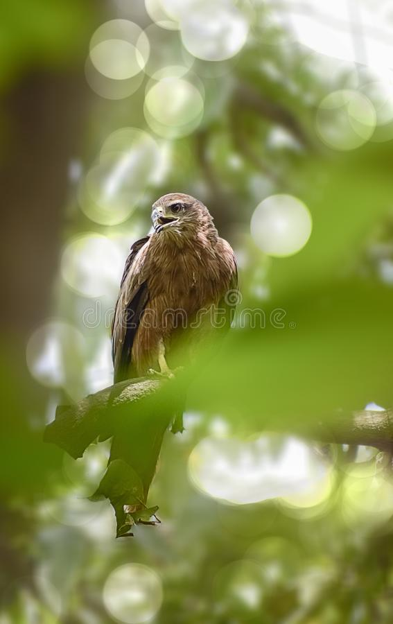 Indian Eagle,the Kite sitting on the tree branch in the defth of field picture. India stock image