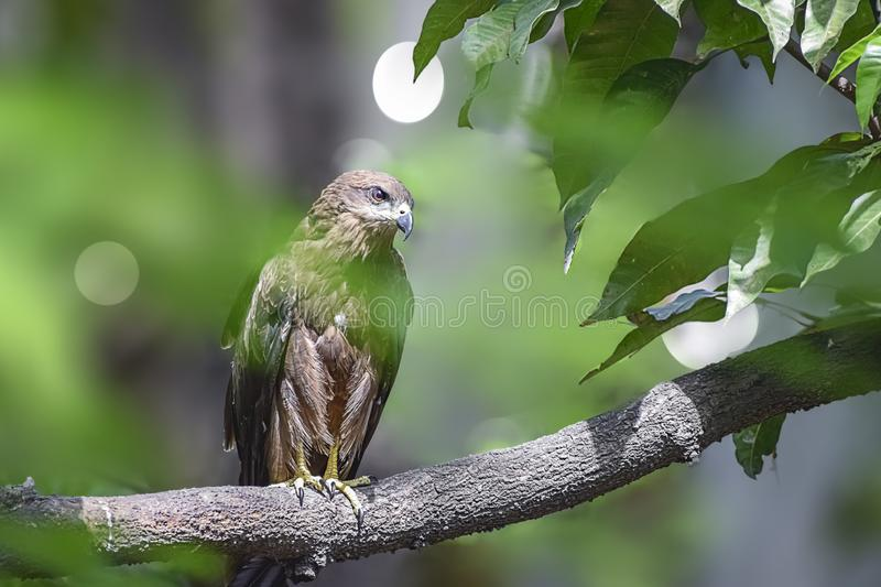 Indian Eagle,the Kite sitting on the tree branch in the defth of field picture. India stock photography
